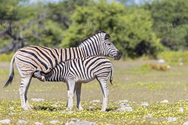 Africa- Namibia- Etosha National Park- burchell's zebras- Equus quagga burchelli- mother and young animal lactating