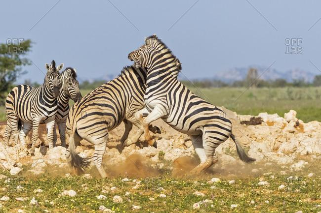 Africa- Namibia- Etosha National Park- burchell's zebras- Equus quagga burchelli- fighting