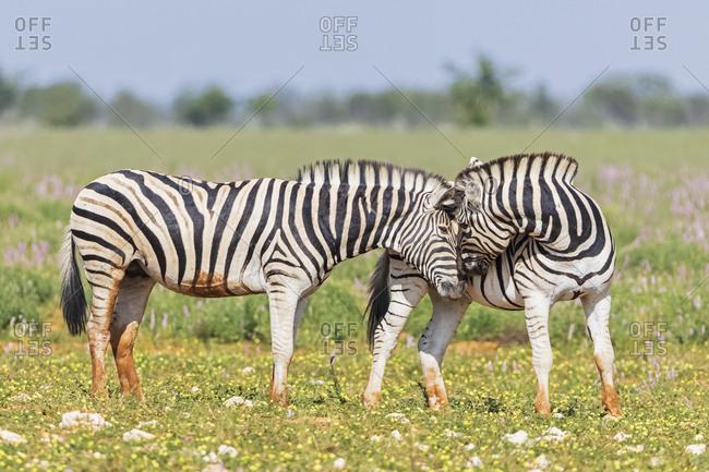 Africa- Namibia- Etosha National Park- burchell's zebras- Equus quagga burchelli- sniffing