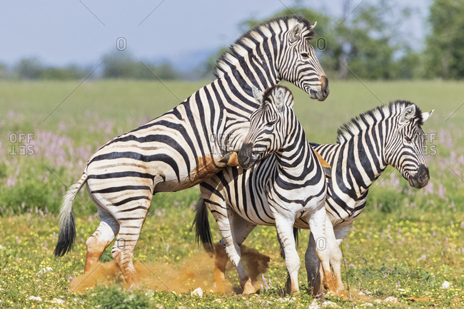 Africa- Namibia- Etosha National Park- burchell's zebras- Equus quagga burchelli- fighting