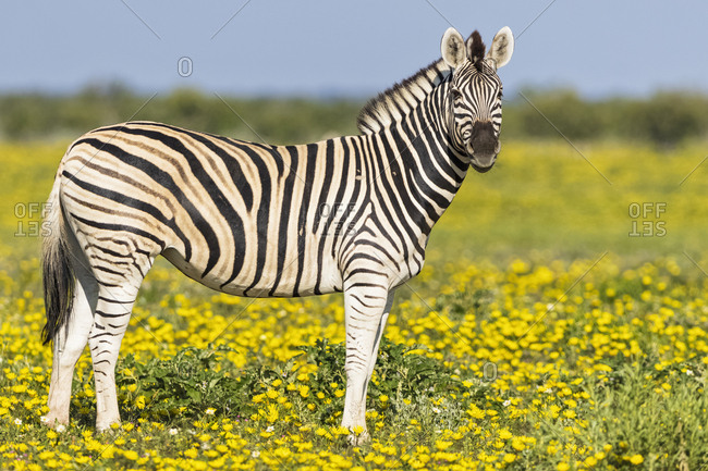Africa- Namibia- Etosha National Park- burchell's zebras- Equus quagga burchelli- standing on yellow flower meadow