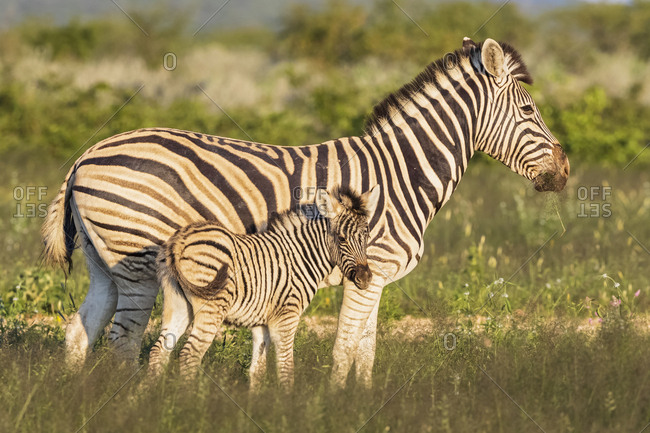 Africa- Namibia- Etosha National Park- burchell's zebras- Equus quagga burchelli- mother and young animal