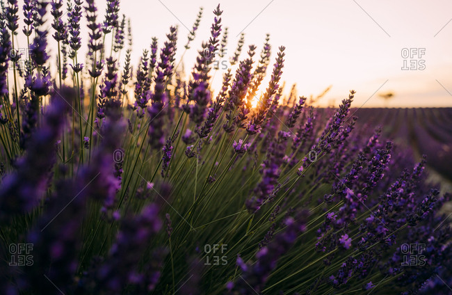 France- Alpes-de-Haute-Provence- Valensole- lavender blossoms on field at sunset