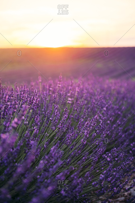 France- Alpes-de-Haute-Provence- Valensole- lavender blossom on field at sunset