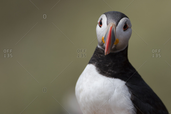 UK- Wales- portrait of Atlantic puffin