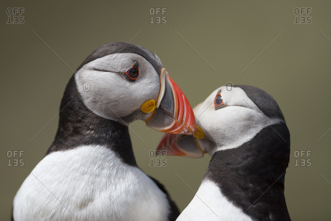 UK- Wales- two Atlantic puffins