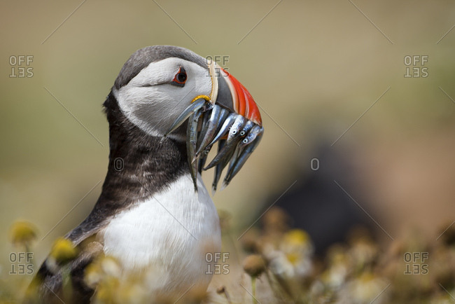 UK- Wales- portrait of Atlantic puffin with prey