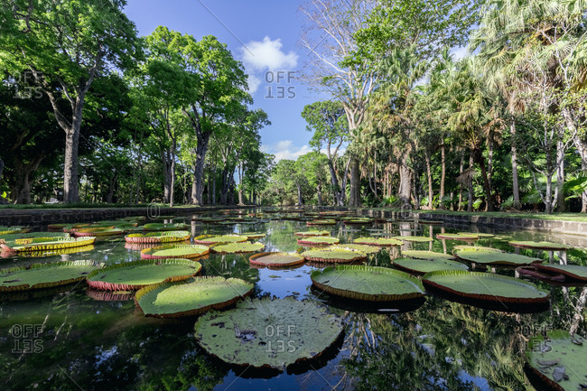 Mauritius- Sir Seewoosagur Ramgoolam Botanical Garden- leaves of Amazonas Giant Water Lily on pond- Victoria amazonica