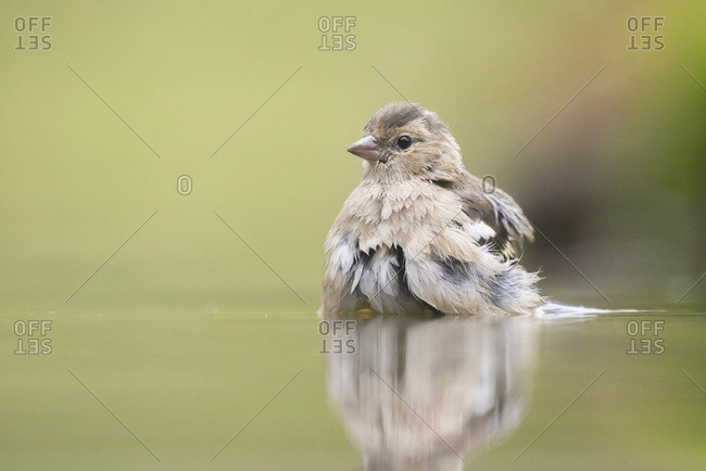Brown bird reflecting in water