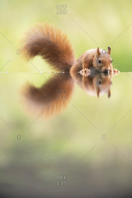 Red squirrel drinking from water