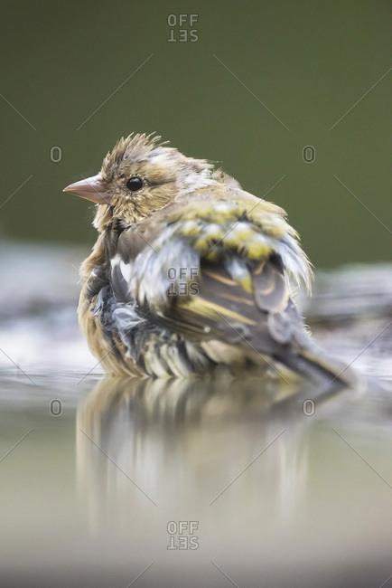 Brown bird in a bird bath
