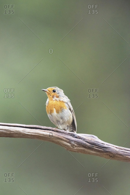Robin red breast bird perched on a branch