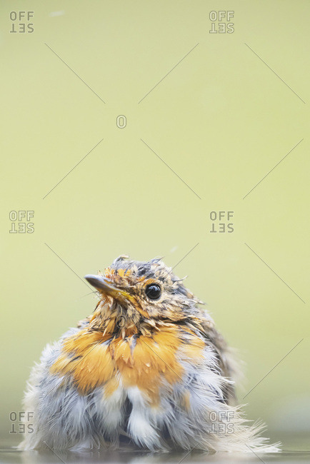 Robin red breast bird in a bird bath