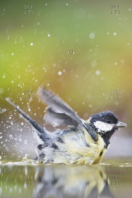 Great tit bird in a bird bath