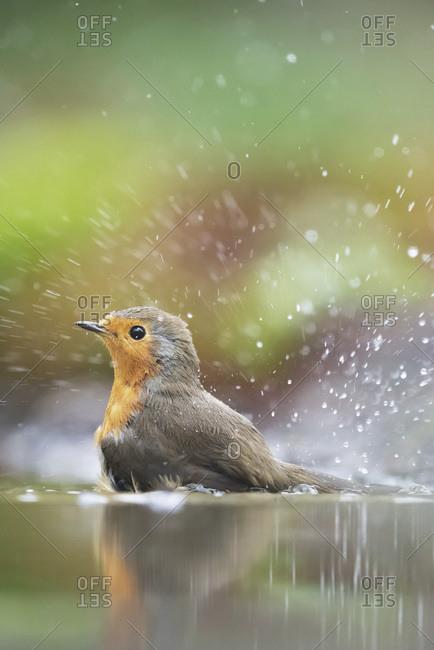 Robin red breast bird splashing in a bird bath
