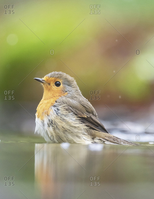 Robin red breast bird in water