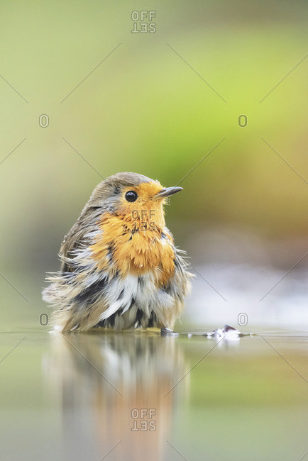 Portrait of a robin red breast bird in water