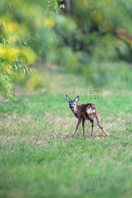 Young deer standing at the edge of a forest