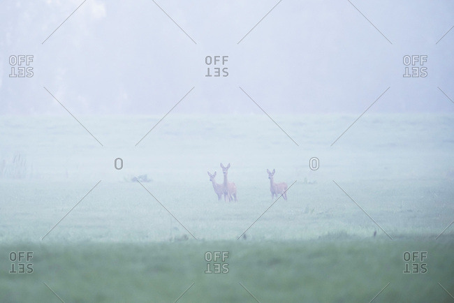 Alert deer in a foggy meadow