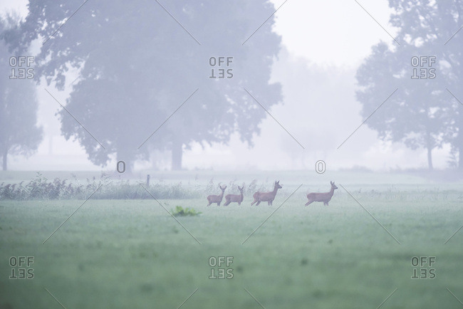 Alert deer in a foggy field