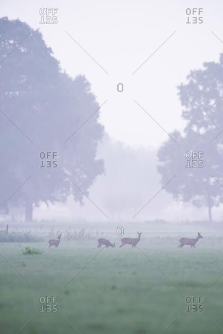 Deer in a foggy field