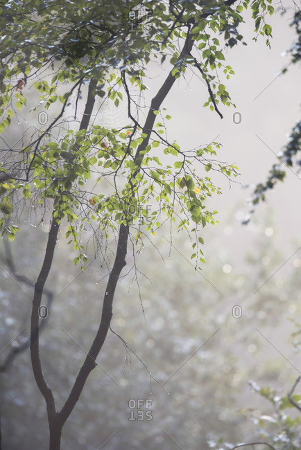 Tree with green leaves in a foggy forest