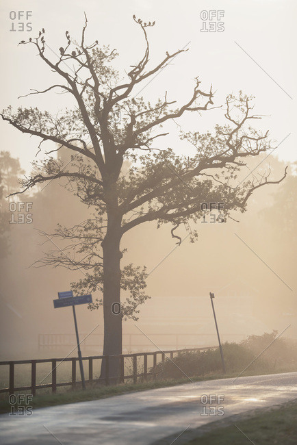 Tree silhouette on foggy road
