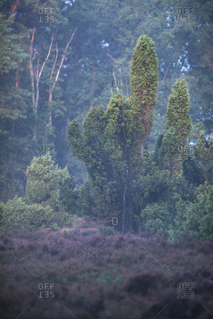 Green trees in a hazy forest