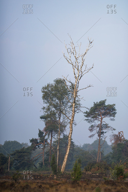 Tall dead tree on the edge of a forest