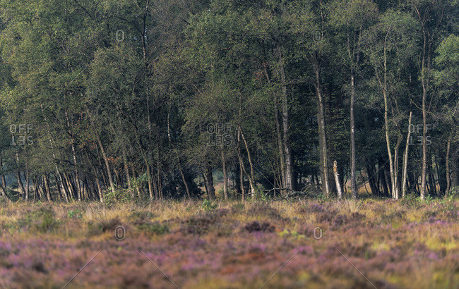 Heather growing in a field by a forest