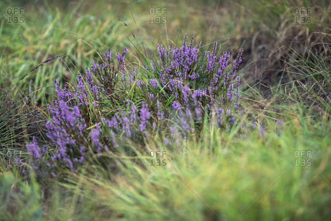 Close up of heather growing in a field