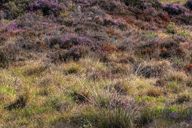 Field filled with heather