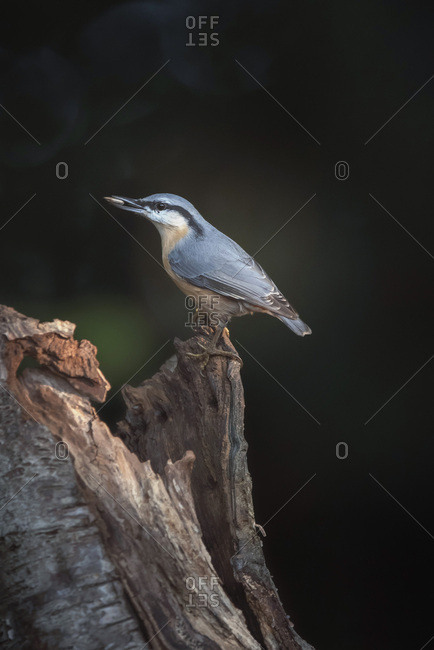 Red-breasted nuthatch from the Offset Collection
