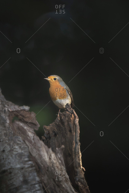 Robin red breast bird perched on a tree