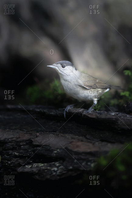 Blackcap bird on a log