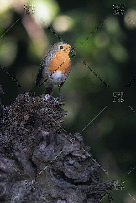 A robin red breast bird perched on a tree