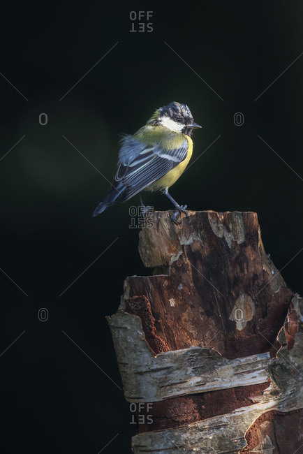Great tit bird perched on a tree