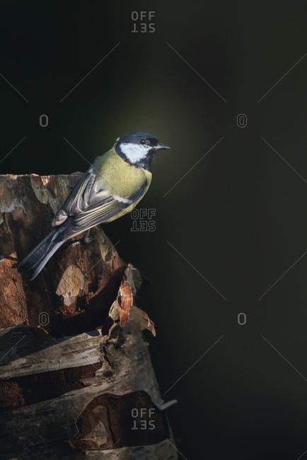 Great tit bird on a tree