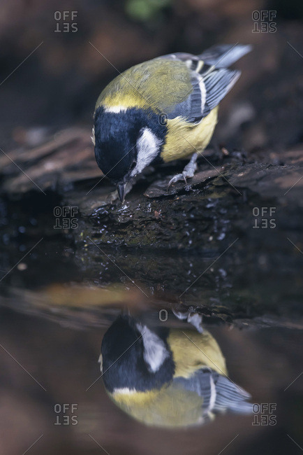 Great tit bird drinking from water