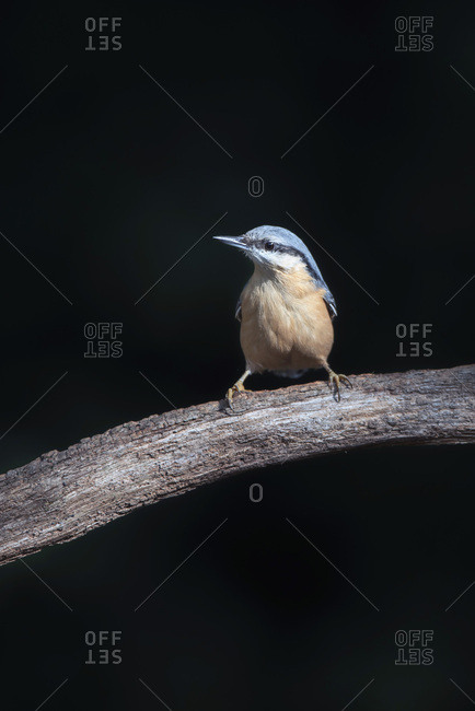 Red-breasted nuthatch on a tree branch