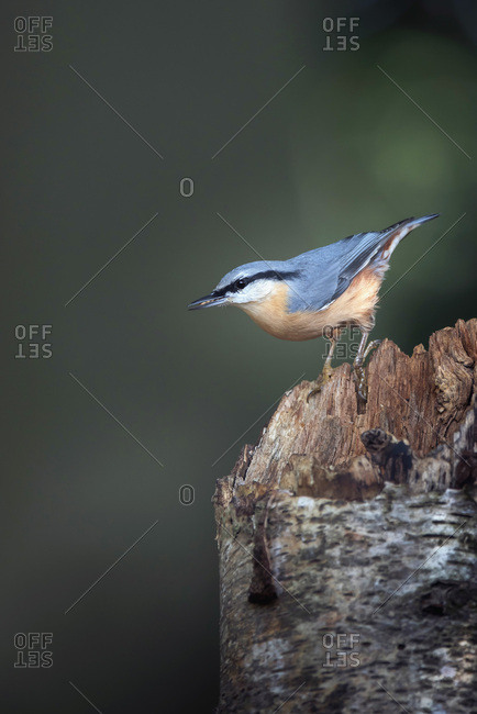 Close up of a red-breasted nuthatch