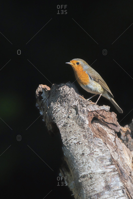 A robin red breast bird on a tree branch