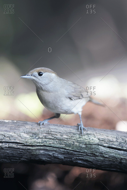 Blackcap bird on a branch