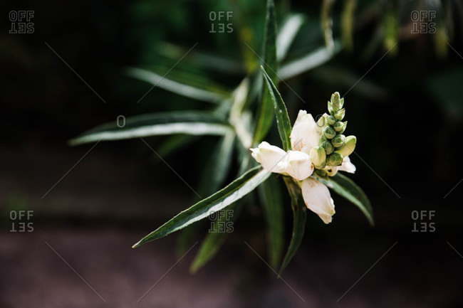 Close up of a white flowering plant