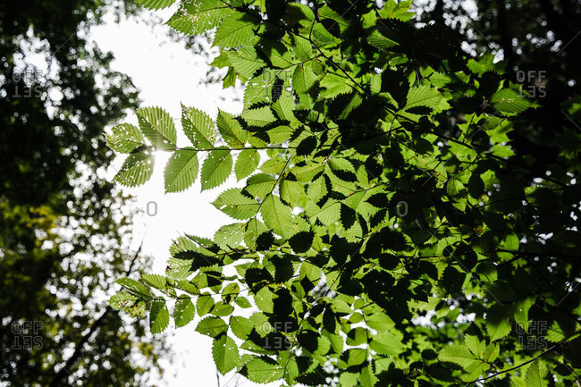 Low angle view of sunshine shining through green leaves