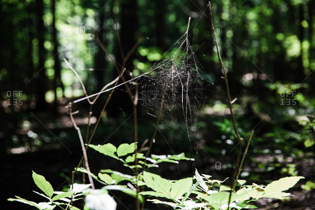 Spider web between branches in the forest