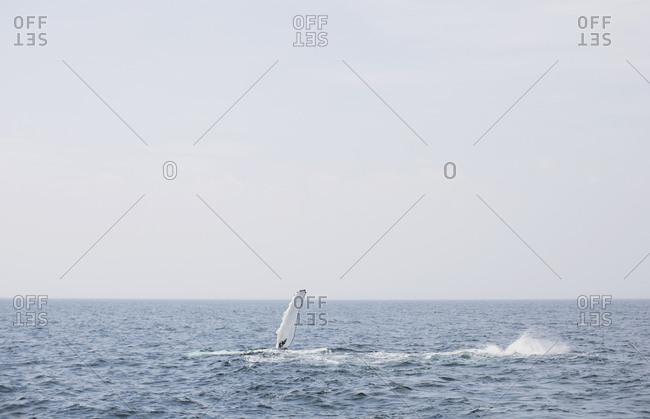 Whale flipper splashing in water