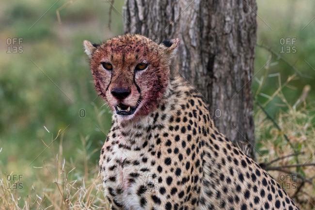 Cheetah (Acinonyx jubatus) with a bloody face after feeding, Ndutu, Ngorongoro Conservation Area, Serengeti, Tanzania
