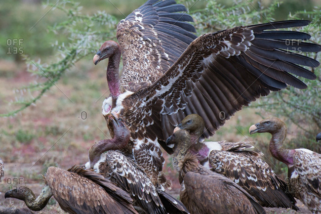 White-backed vultures (Gyps africanus) on a carcass, Ndutu, Ngorongoro Conservation Area, Serengeti, Tanzania