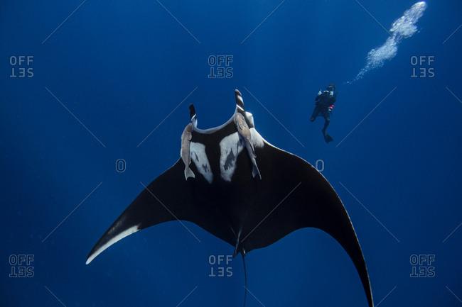 Giant oceanic manta ray, diver in background, Socorro, Baja California, Mexico